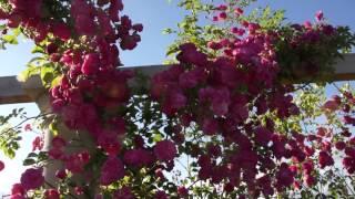 #964 Eine junge Ramblerrose Rosa Minnehaha