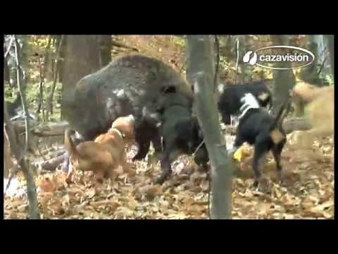 Jabalíes y cazadores 4