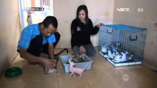 Video NET24 - Kucing Ras Langka MP3, 3GP, MP4, WEBM, AVI, FLV Agustus 2018