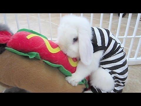 A Chinchilla Bunny Special!