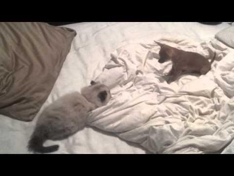 Cat vs. Miniature chihuahua