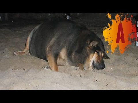 10 Fattest Dogs In The World