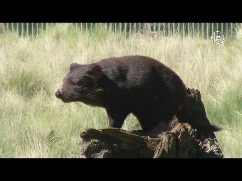 Тасманийских дьяволов спасают от эпидемии (новости)