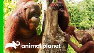 Chen Chen Reunites With Friends After Recovering From Injury | Orangutan Island by Animal Planet