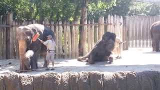 Elephant grooms with a broom