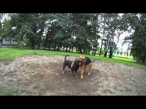 parittelu - Alex & Iitu myllää tuttuu tyyliin :) Joidenkin mielestä tää voi näyttää koiratappelulta mutta NÄIN ne isot koirat leikkii !