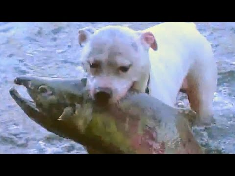 Watch These Dogs Catch Huge Salmon!