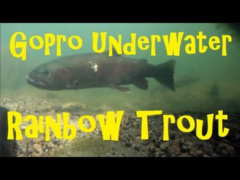 rainbowtrout - AMAZING underwater footage with GoPro HERO during the rainbow trout spawning season. See some fat rainbows take a jig and chase eachother off their territory...