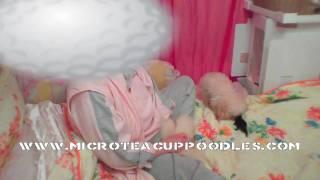 AKC Micro Teacup Poodles - Mokona&Motoya's Son - Mocubi