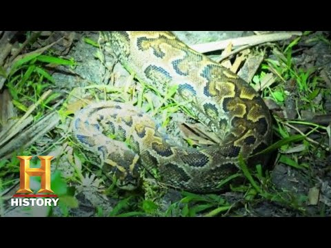 Swamp People: Serpent Invasion: GIANT HYBRID PYTHONS INVADE EVERGLADES (Season 1) | History
