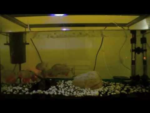 Piranalar japon balığı yerken (+18)