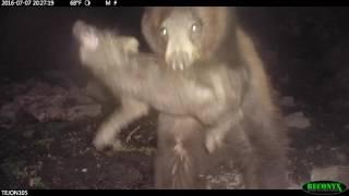 Video black bear attack on Tejon Ranch MP3, 3GP, MP4, WEBM, AVI, FLV Mei 2017