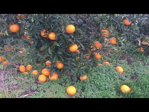Đây chính là lý do người nhật để hoa quả dụng đầy vườn không ăn - Thời lượng: 10 phút.