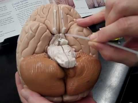 Anatomy Lab - Human Brain Model