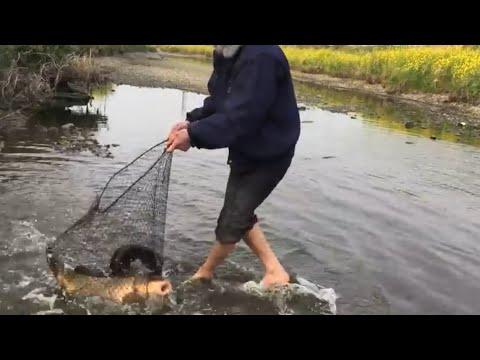 Đi hái rau gặp cái vũng trâu đằm ai ngờ có nhiều cá to đến thế - Thời lượng: 18:27.