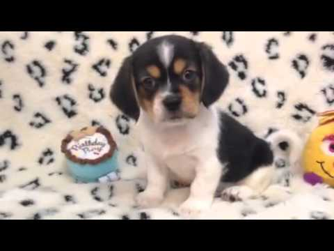Handsome Little Pekingese Beagle mix!