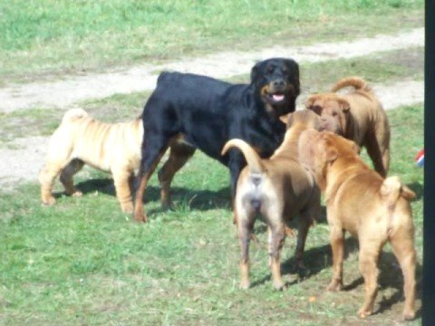 rottweiler vs sharpei