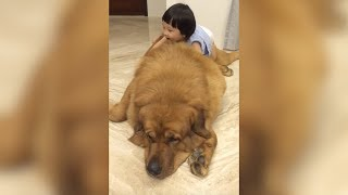 This Giant Tibetan Mastiff Loves Playing With His Little Human