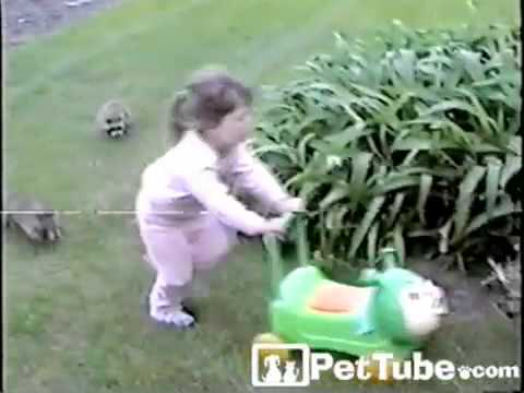 pettube - A group baby raccoons chase a little girl around the yard! http://pettube.com.