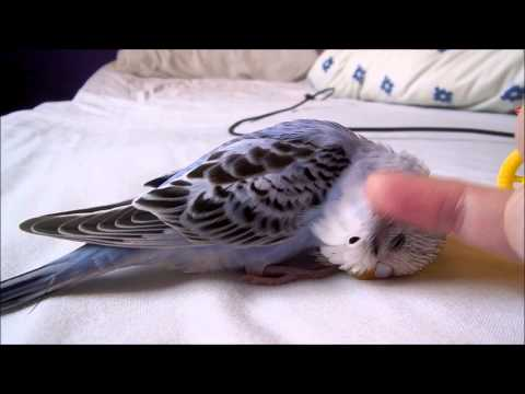 Jessie 'The Budgie' Playing & Affectionate Head Rub!