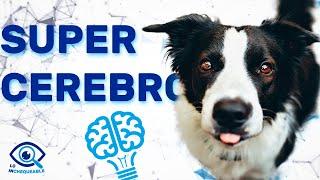 Border Collie, ¿El perro más inteligente del mundo?