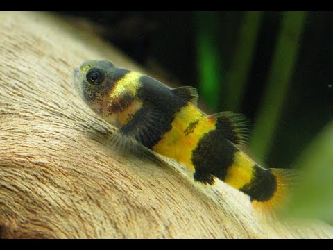 Species Profile # 32 : The Bumblebee Goby (Brachygobius sp.)