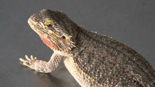 Reptiles: handling medium sized lizards