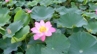 空撮 / 琵琶湖の蓮