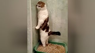 Video SUPER WEIRD CATS that will totally CONFUSE YOU! - Extremely FUNNY CAT VIDEOS compilation MP3, 3GP, MP4, WEBM, AVI, FLV Juni 2018