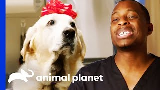 Gus The Labrador Has A Huge Painful Growth On His Neck | The Vet Life by Animal Planet