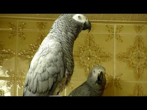 African Grey parrots bedtime noises!