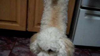 Poodle Training To Do Handstand