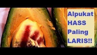 Download Video Alpukat Hass: PENGUASA 80 % PANGSA PASAR DUNIA MP3 3GP MP4