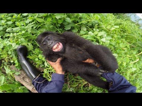 Näin gorilla reagoi kun sitä kutitetaan – Suloinen veijari