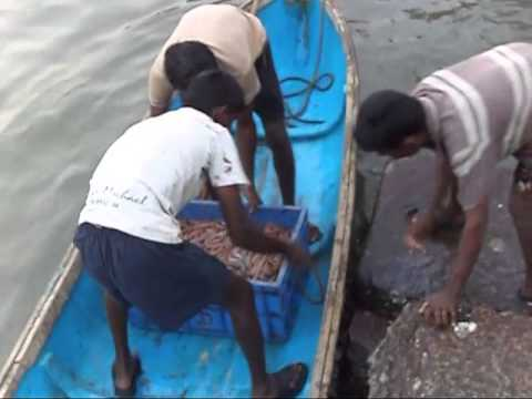 Prawns Fishing in West Coast India, Fishing at Konkan Coast – Travel Themes