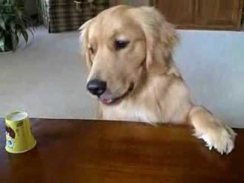 golden retriever & the shell game