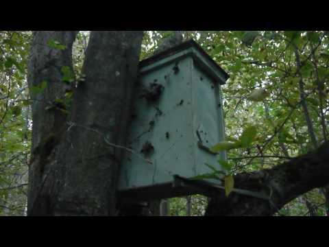 пчеловодство ловля роев ловушками 2016г