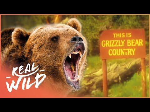 Surviving A Vicious Grizzly Bear Attack | Human Prey | Real Wild Documentary