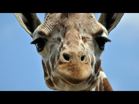 Crazy Facts You Didn't Know About Giraffes