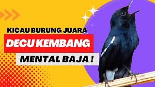 Suara Burung Decu - Decu Gacor Mental Baja !! Video