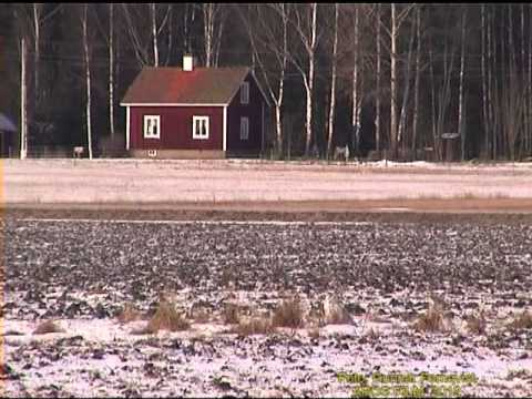 Fjlluggla - Fjlluggla. Gesala i Vstmanland 5-Mars 2001, Snowy Owl in Sweden, AROS FILM Fotograf: Gunnar Fernqvist.