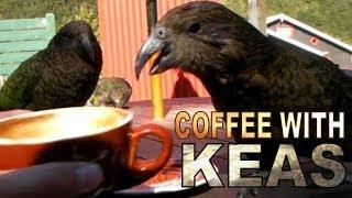 Arthur's Pass New Zealand  city photos gallery : COFFEE WITH KEAS - KEA - ARTHURS PASS - NEW ZEALAND