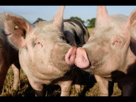 Viehwirtschaft: Die glücklichen Schweine
