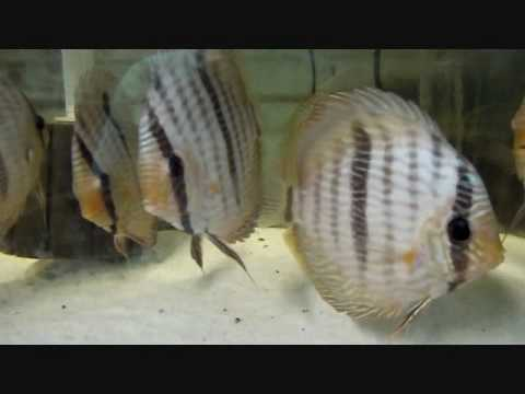 Blue Face Heckel Discus Brazil Snookn21 Import July 2010.wmv