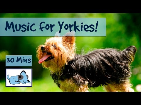 Music for Yorkies! Relax Your Yorkshire Terrier With Relaxing Dog Music, Chill Out Your Yorkie!