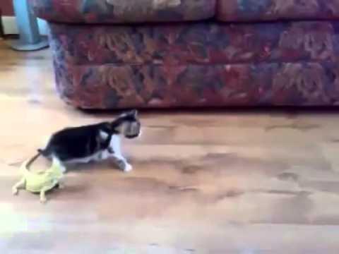 gattino terrorizzato dall'iguana