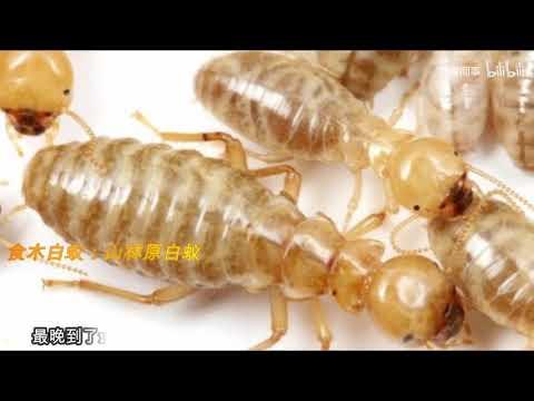 【科普】3分钟带你搞清螳螂、白蚁、蟑螂的关系和演化路径