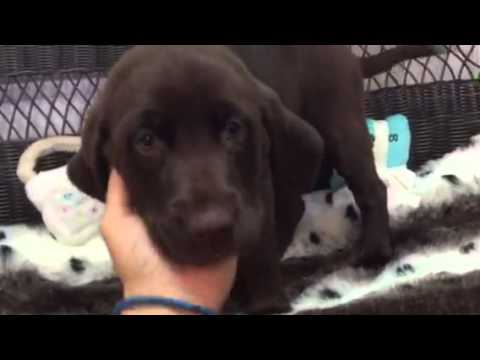 Stalky, rich chocolate lab puppy!