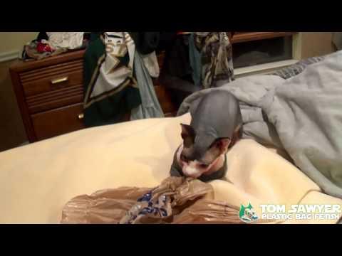 Sphynx Tom Sawyer - Ep 102 - Plastic Bag Fetish (видео)