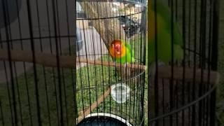 lovebird violla palembang